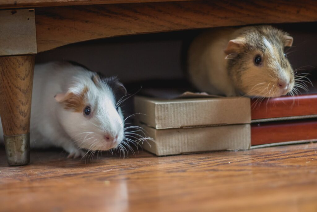 Mice hiding underneath the furniture