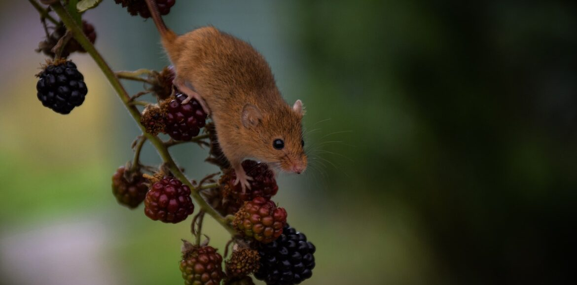 Mice on fruits