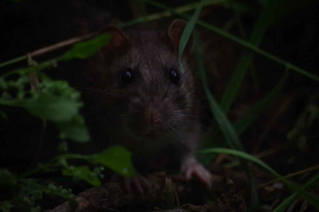 Dangerous mice in the garden
